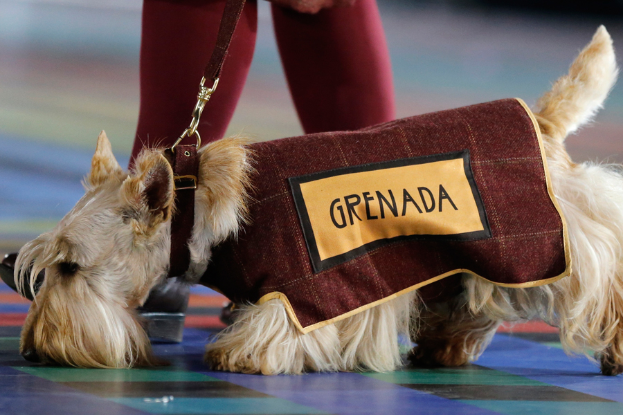 A Scottish Terrier wearing a vest with the team name of Grenada is led around the arena ahead of the team during the opening ceremony