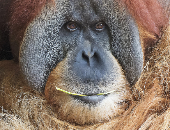 Orangutan Bimbo chews a stick as it relaxes at the Zoo in Leipzig, Germany