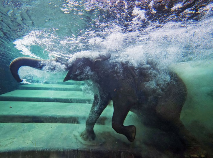 An elephant immerses behind a window in the elephants' indoor pool