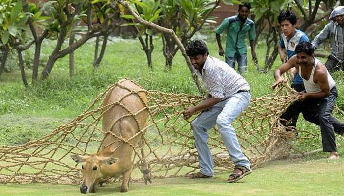 দেশের তিন রাজ্যে নীলগাই, বুনো শুয়োর আর বাঁদর কালিংয়ে অন্তর্বর্তী স্থগিতাদেশ নয়