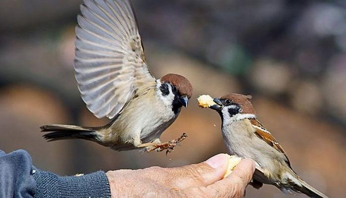জাপানের দম্পতির সন্তান চড়ুই পাখি