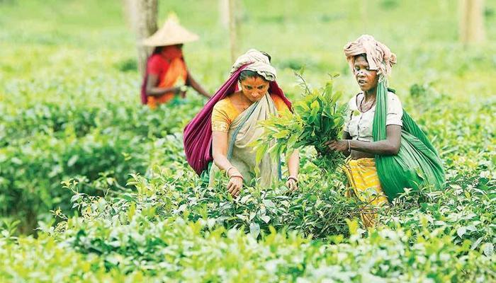 উত্তরবঙ্গে বন্ধ ৬ টি চাবাগান নিলামের ভাবনা রাজ্যের