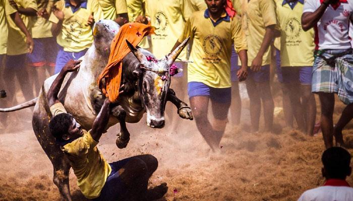 জাল্লিকাট্টু আগুনে জ্বলছে তামিলনাড়ু, বিক্ষোভ তুলে নিতে অনুরোধ রজনীকান্ত, কমল হাসানের