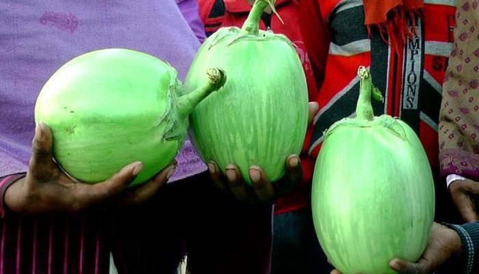 একাই ১ কেজি, মন মাতাবে রায়গঞ্জের পেল্লায় বিঘোর বেগুন