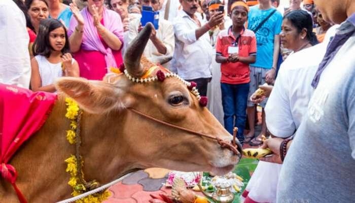 এক্সক্লুসিভ: গরু পুজো ও গঙ্গারতি করতে চলেছেন তৃণমূল নেতা